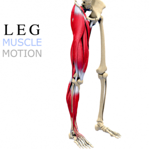 Leg Muscles Motion Mac OS X