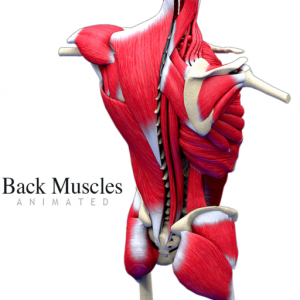 Back Muscles Animated Mac OS X